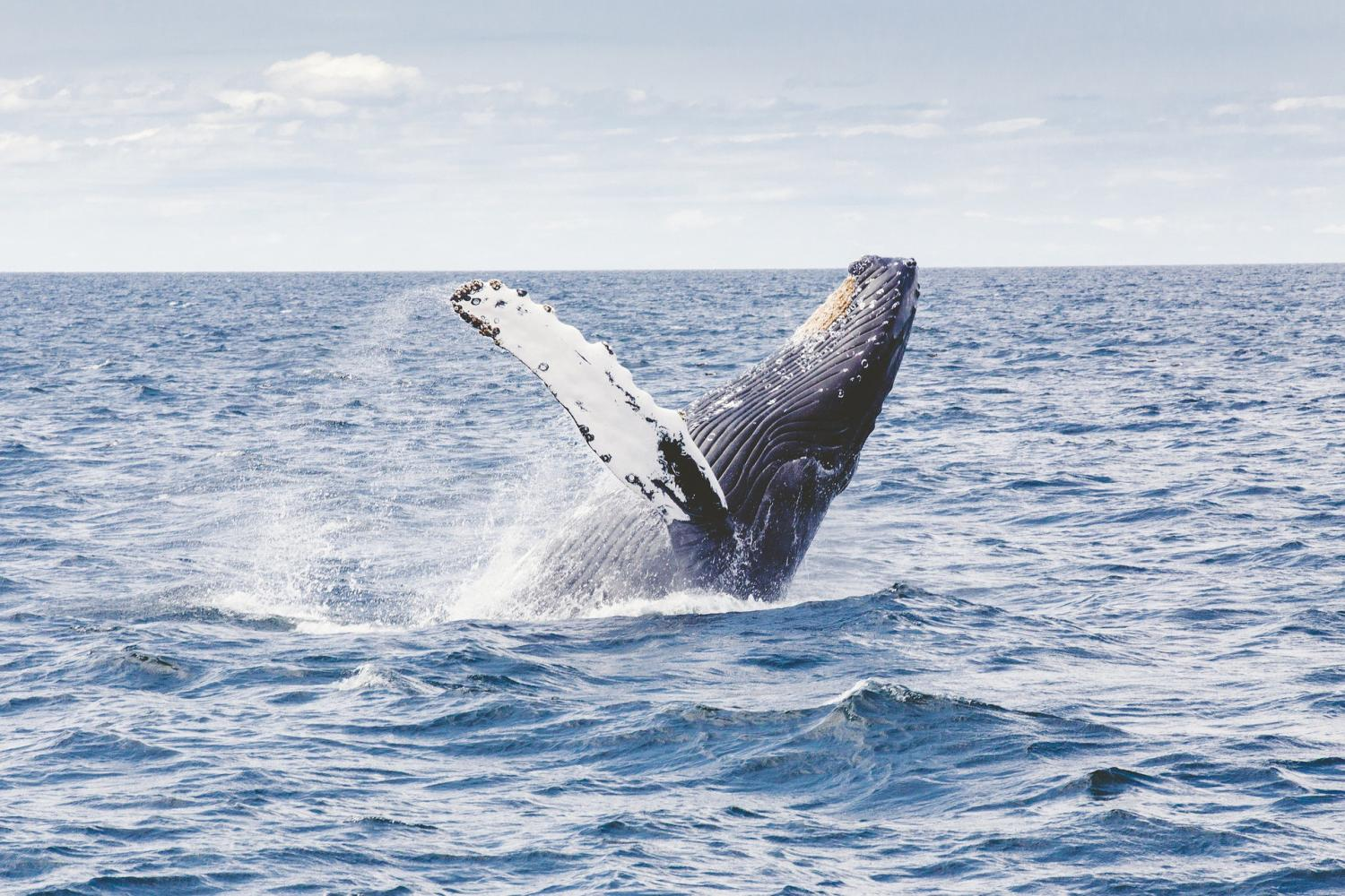 Iceland Whale Watching & Golden Circle Tour