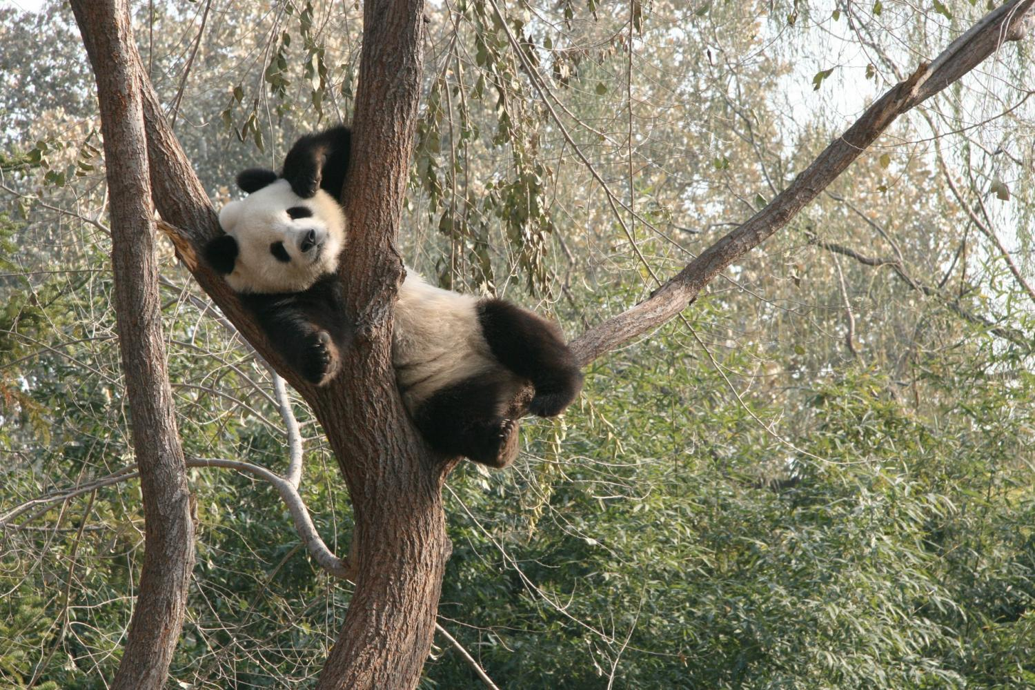 Travel to the Panda Garden -- a modern Chinese Treasure