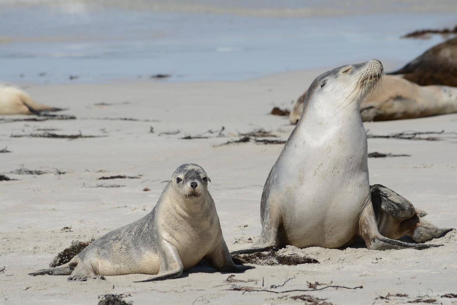 Walk in the wild with seals on the beach at Seal Bay, home for over 500 Australian Sea Lions