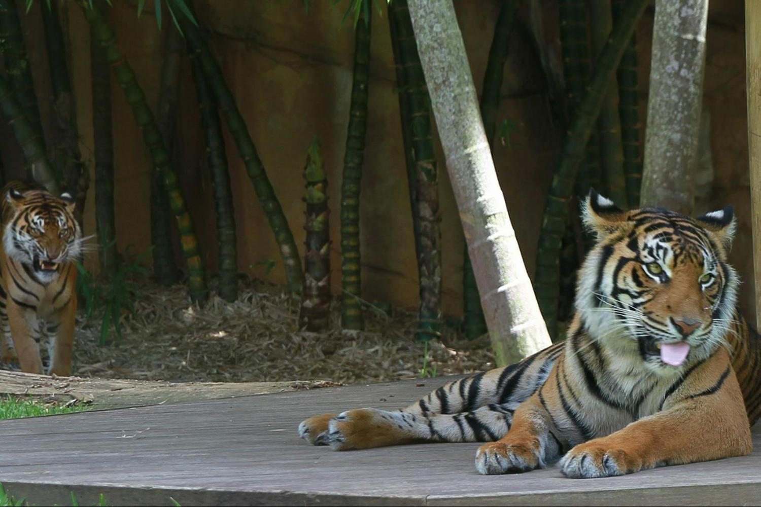 Visit the Tiger Temple - home to the critically endangered Sumatran and Bengal tigers