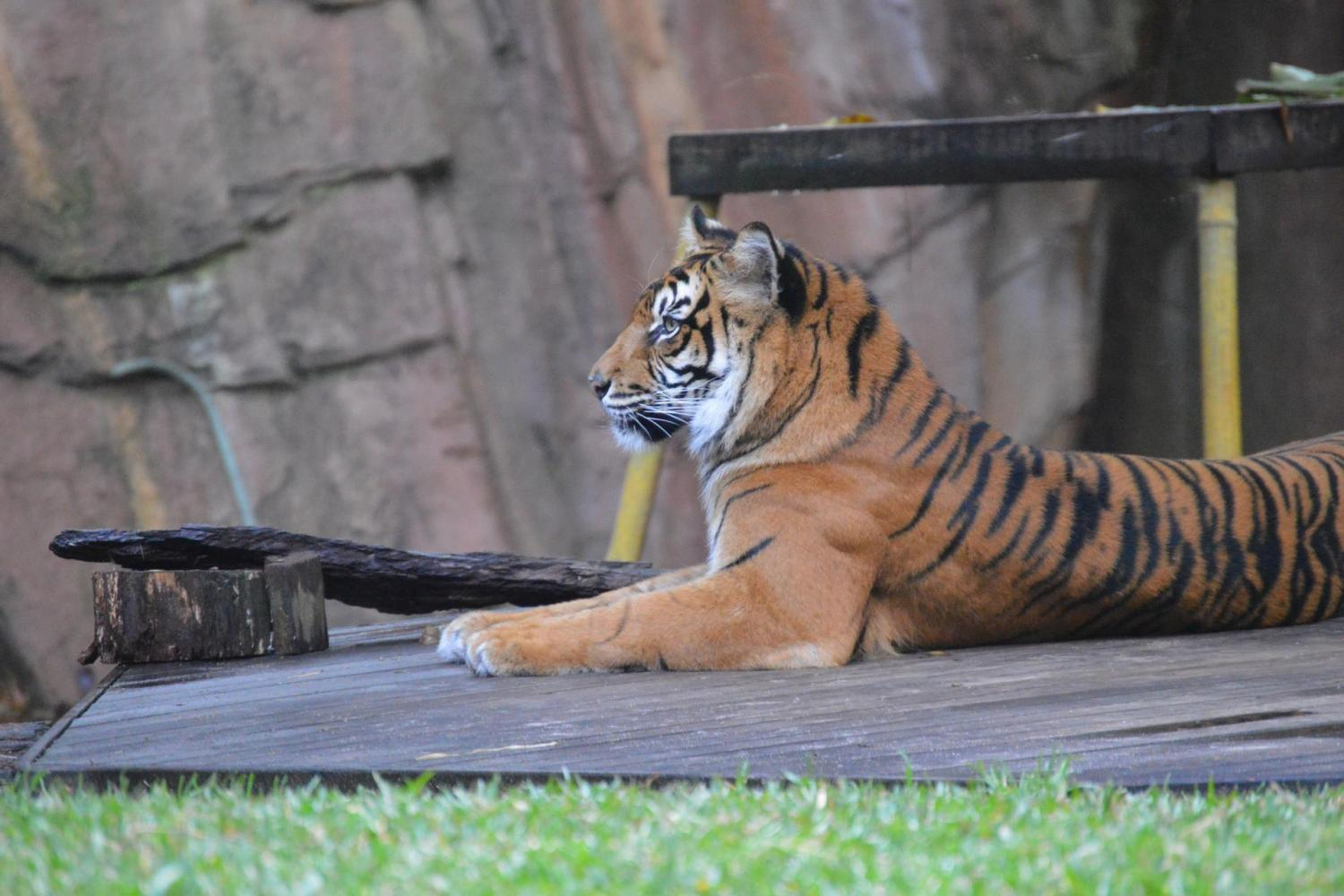 Visit the Tiger Temple - home to the critically endangered Sumatran and Bengal tigers.
