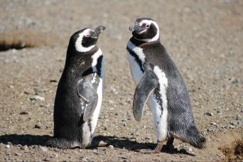 Gray Line Magdalena Island Penguin Tour By Boat From Punta Arenas