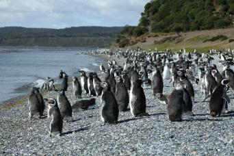 Gray Line Walk with the penguins on Martillo Island