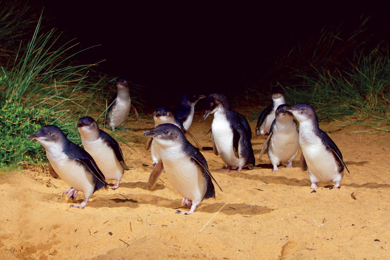 Penguin Parade Tour From Melbourne