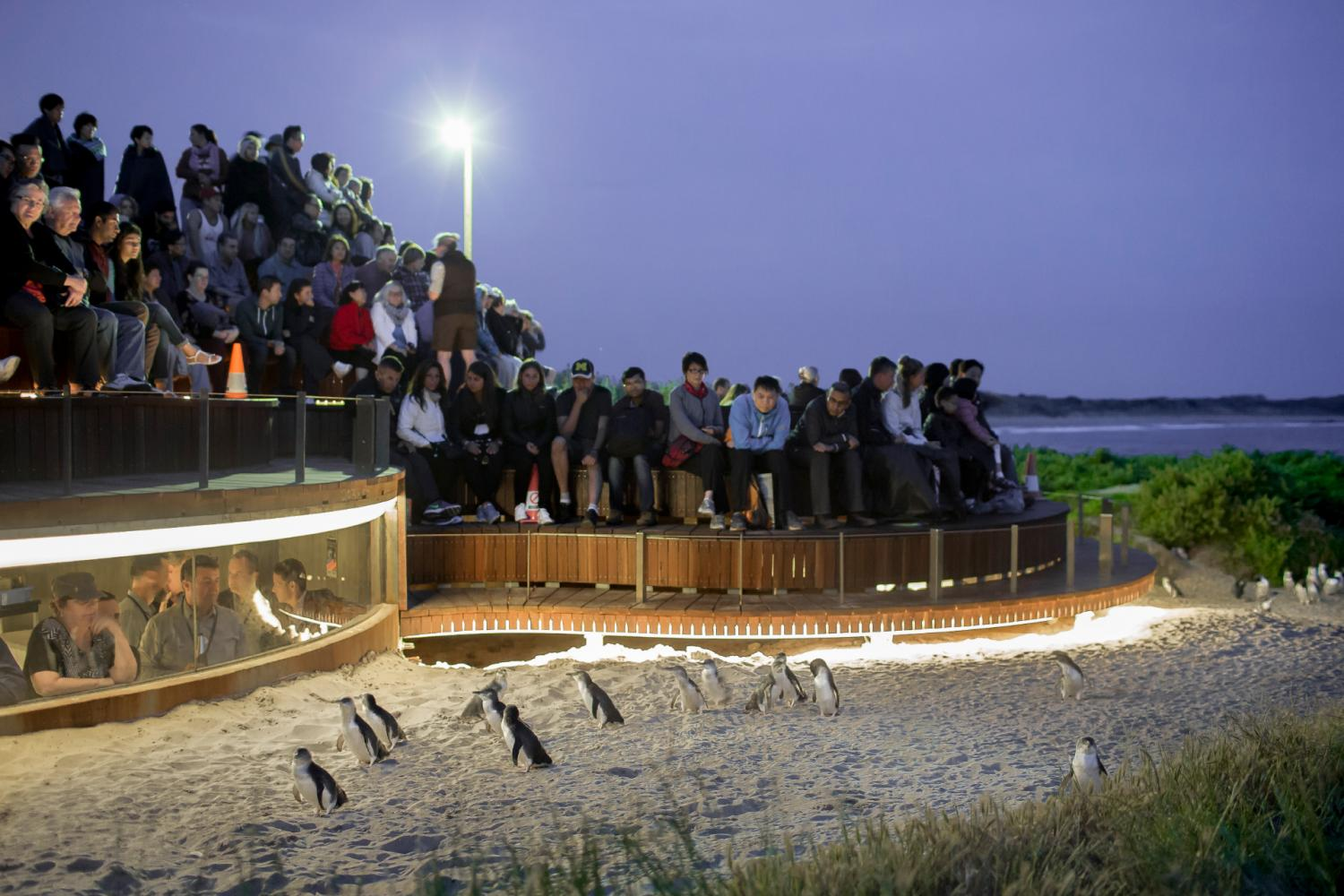 Penguin Parade Tour With VIP Viewing From Melbourne