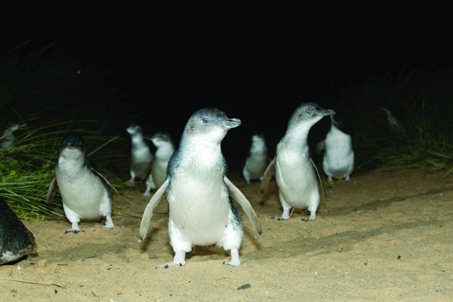 Witness the Penguin Parade on floodlit Summerland Beach from Penguins Plus premium viewing area for
