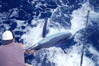 Marlin with Adventure Fishing Holidays