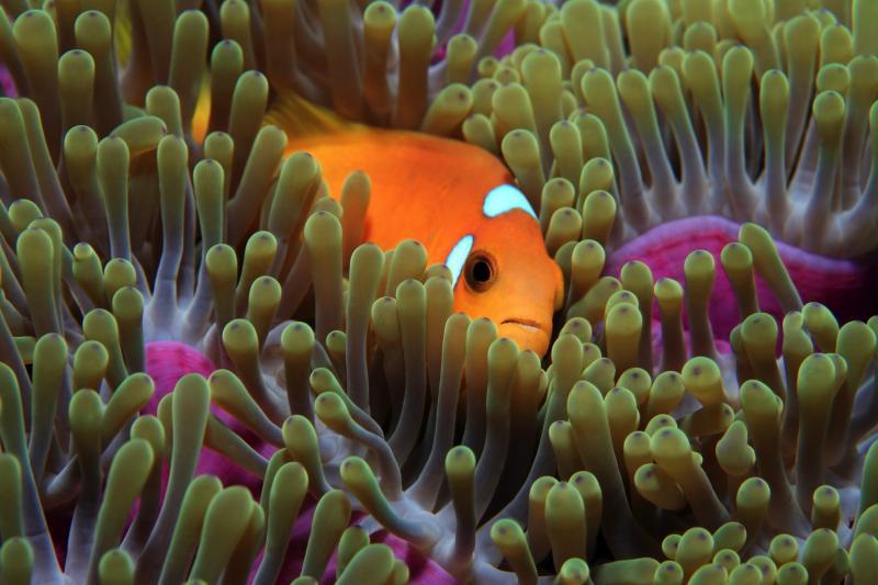 Maldives Diving Clownfish