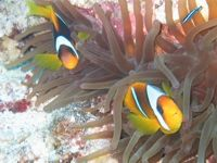 Twobar Anemonefish in the Canyon, Dahab, Egypt