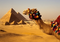 Egyptian camel at the Pyramids in Gisa, Egypt