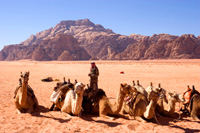 Camels in Wadi Rum, Egypt