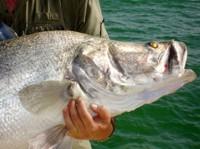 Nile Perch caught at Lake Nasser, Egypt