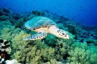 Hawksbill Sea Turtle, The Red Sea, Egypt