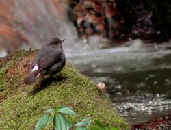 Plumbeous water redstart, Bhutan
