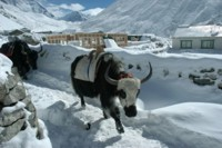 Yak caravan at Dingboche, Nepal