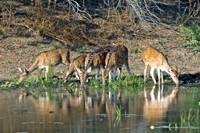 Spotted deer drinking in Bardia NP, Nepal