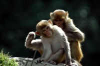 Rhesus Macaque monkeys in Nepal
