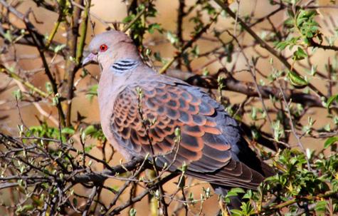 Oriental turtle dove, Bhutan