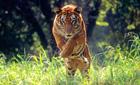 Bengal tiger, Nepal