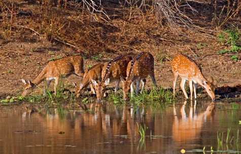 Spotted deer drinking from a river, Nepal