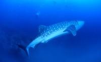 Whale shark, Ko Tao, Thailand