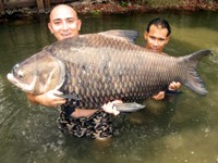 49kg siamese carp, Bung Sam Lan, Thailand