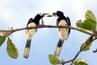 Oriental pied hornbill, Khao Sok National Park, Thailand