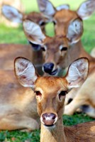 Eld's deer in Thailand