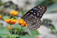 Dark Blue Tiger Butterfly, Khao Sok National Park, Thailand