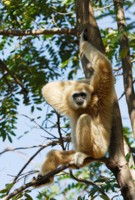 Gibbon relaxing in a tree, Thailand