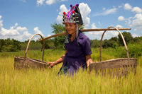 Akha woman at the work in a rice field, Laos
