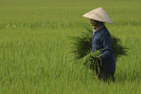 Vietnamese worker in a rice paddy, Vietnam