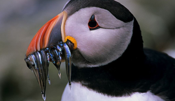 North-West Frontiers Puffin feeding time