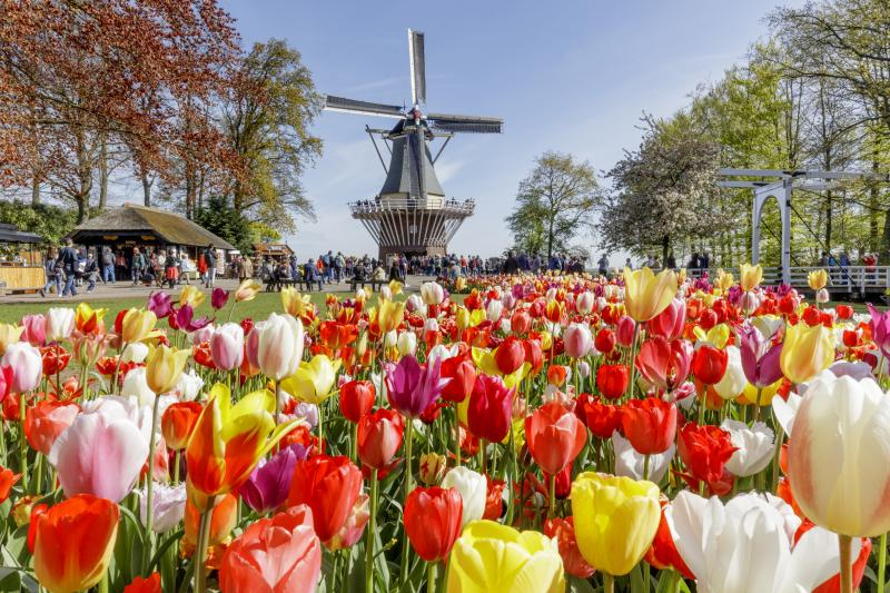 Tulips & Windmill
