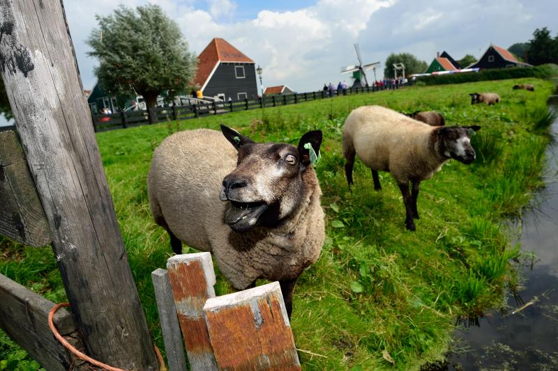 Zaanse Schans Sheep