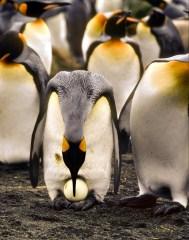 King penguins: South Georgia cruise