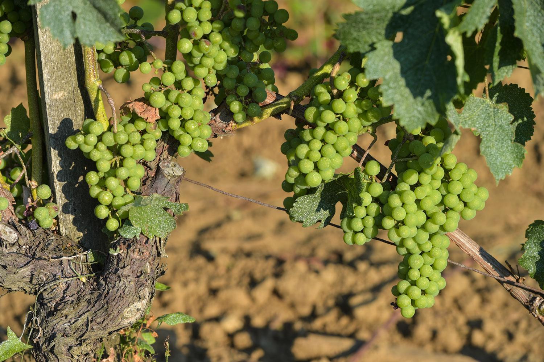 Walking through UNESCO World Heritage Site vineyards