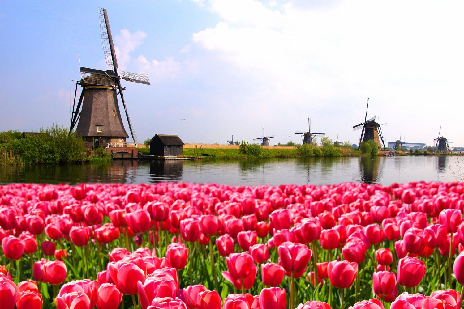 Glorious and vibrant tulips blooming at Kinderdijk