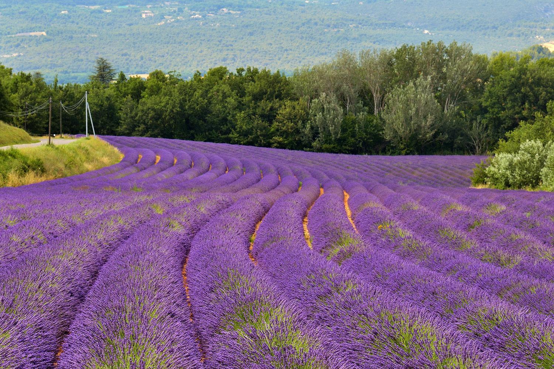 Stunning lavender fields