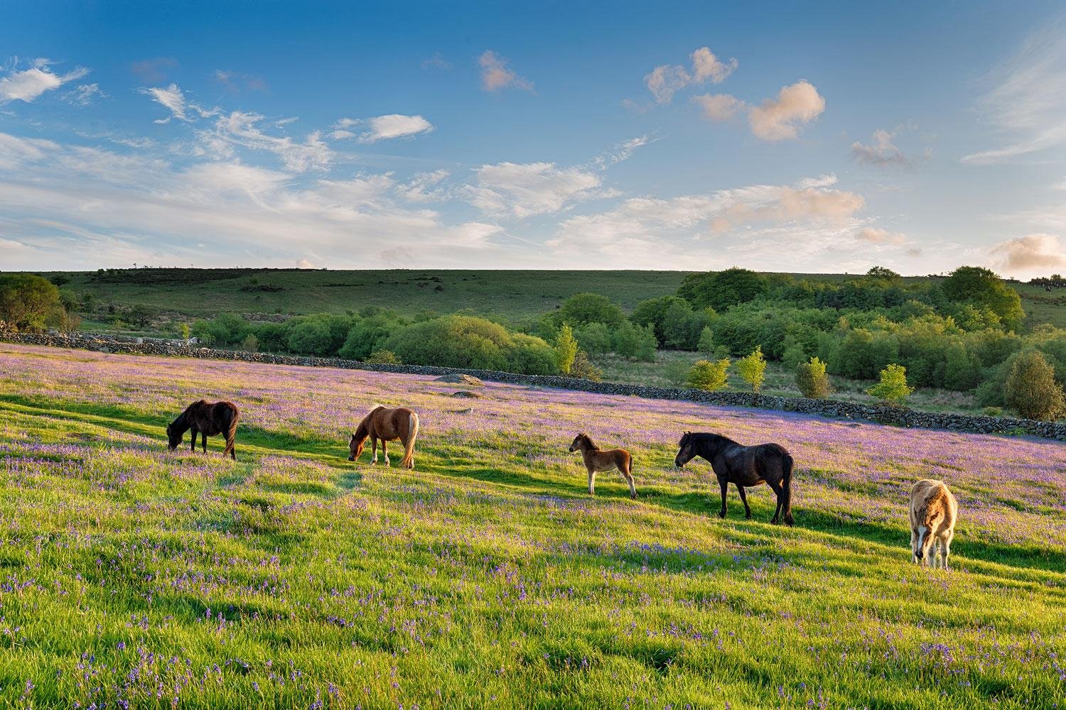 Wild horses amongst the spring bluebells on Exmoor