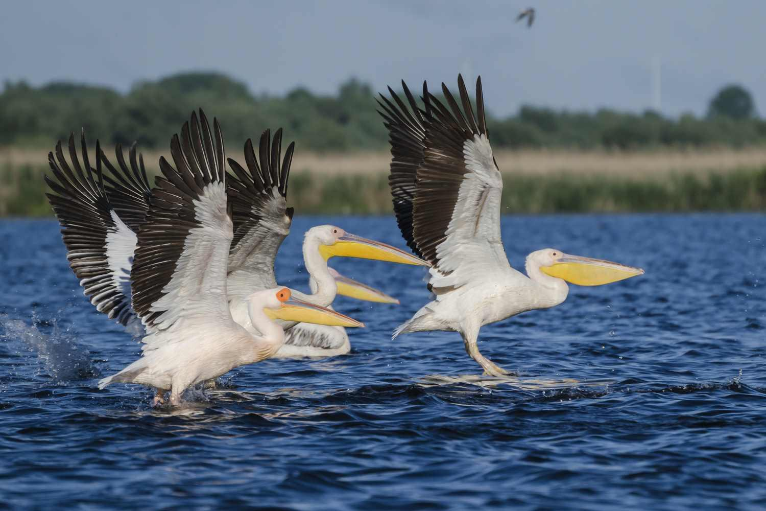 Pelicans on take off