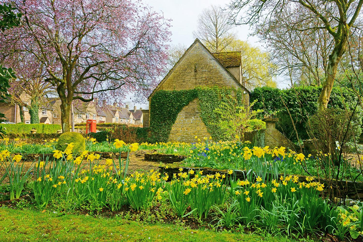 Cotswolds daffodills in the springtime