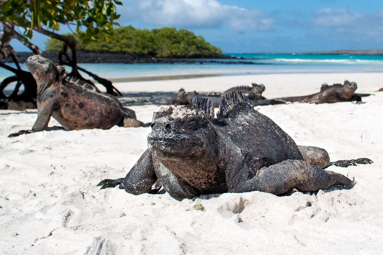 Iguanas on the Santa Cruz beach