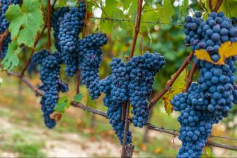 Barolo wine Vespa tour