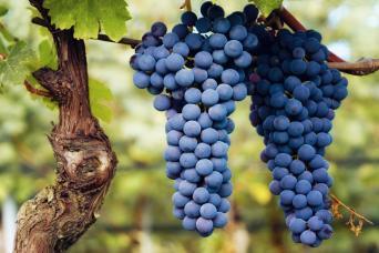 Barolo Wine & Truffle Hunting Tour