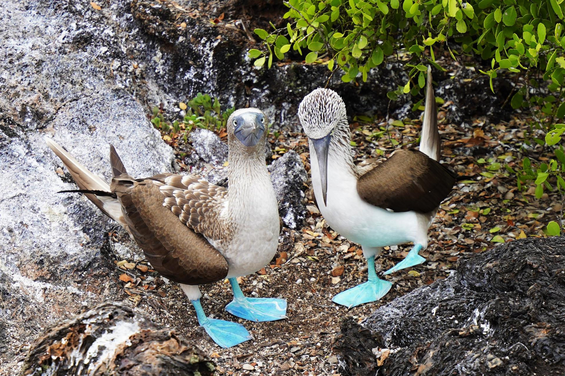 Blue-footed boobie in the Galapagos