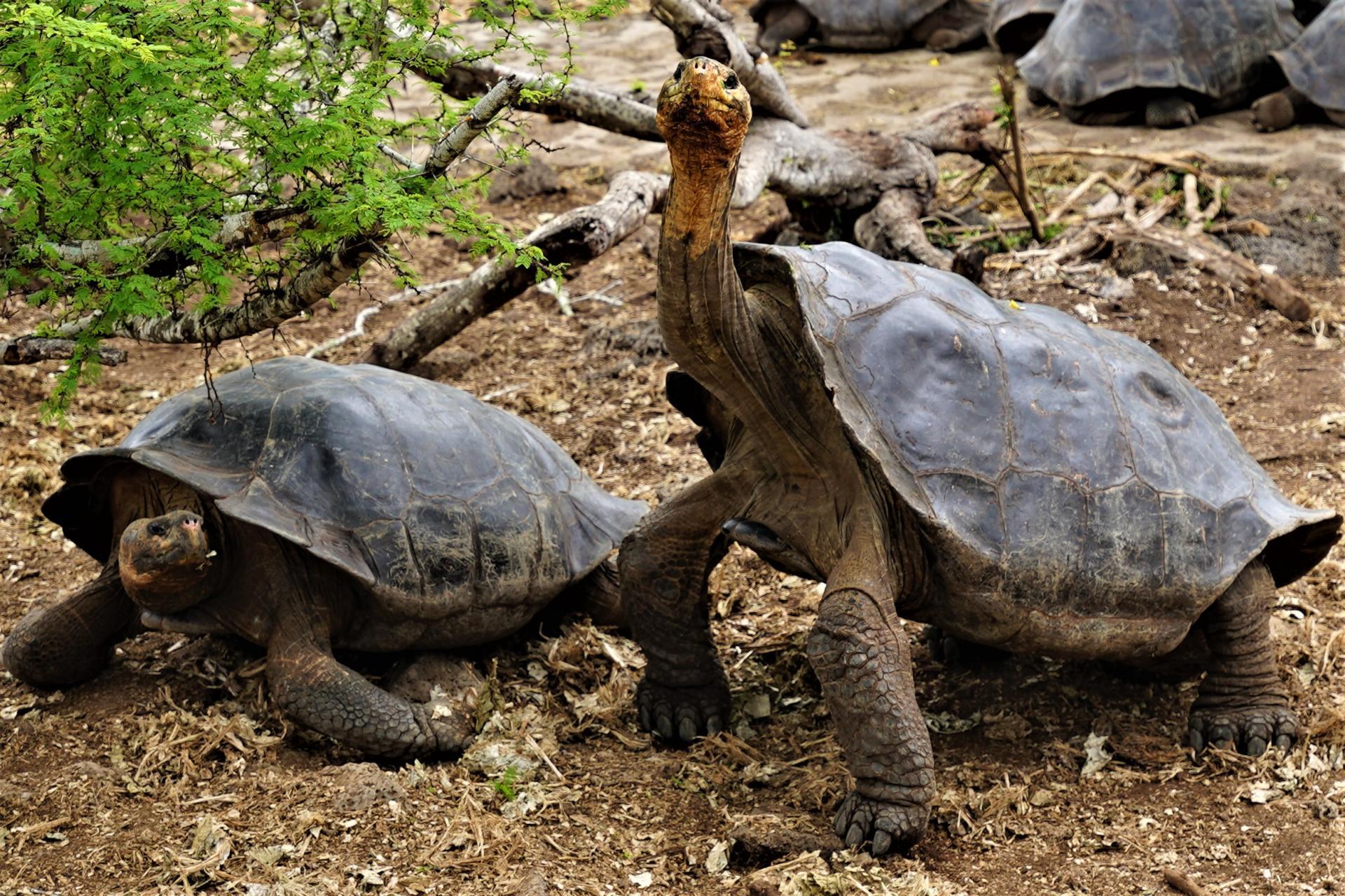 Charles Darwin Research Station: Galapagos Land Tortoise