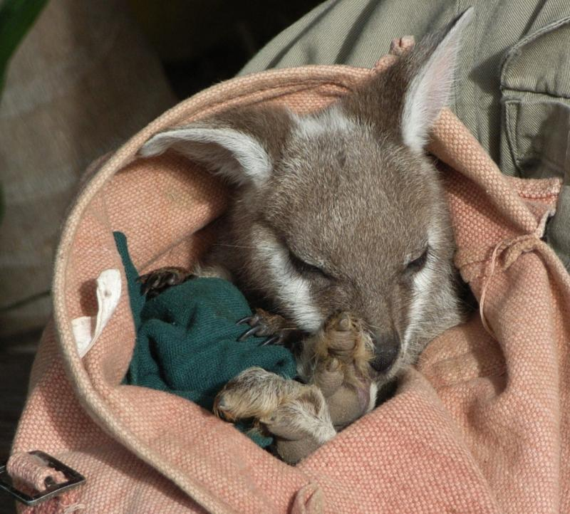 Baby Joey at Featherdale Wildlife Park