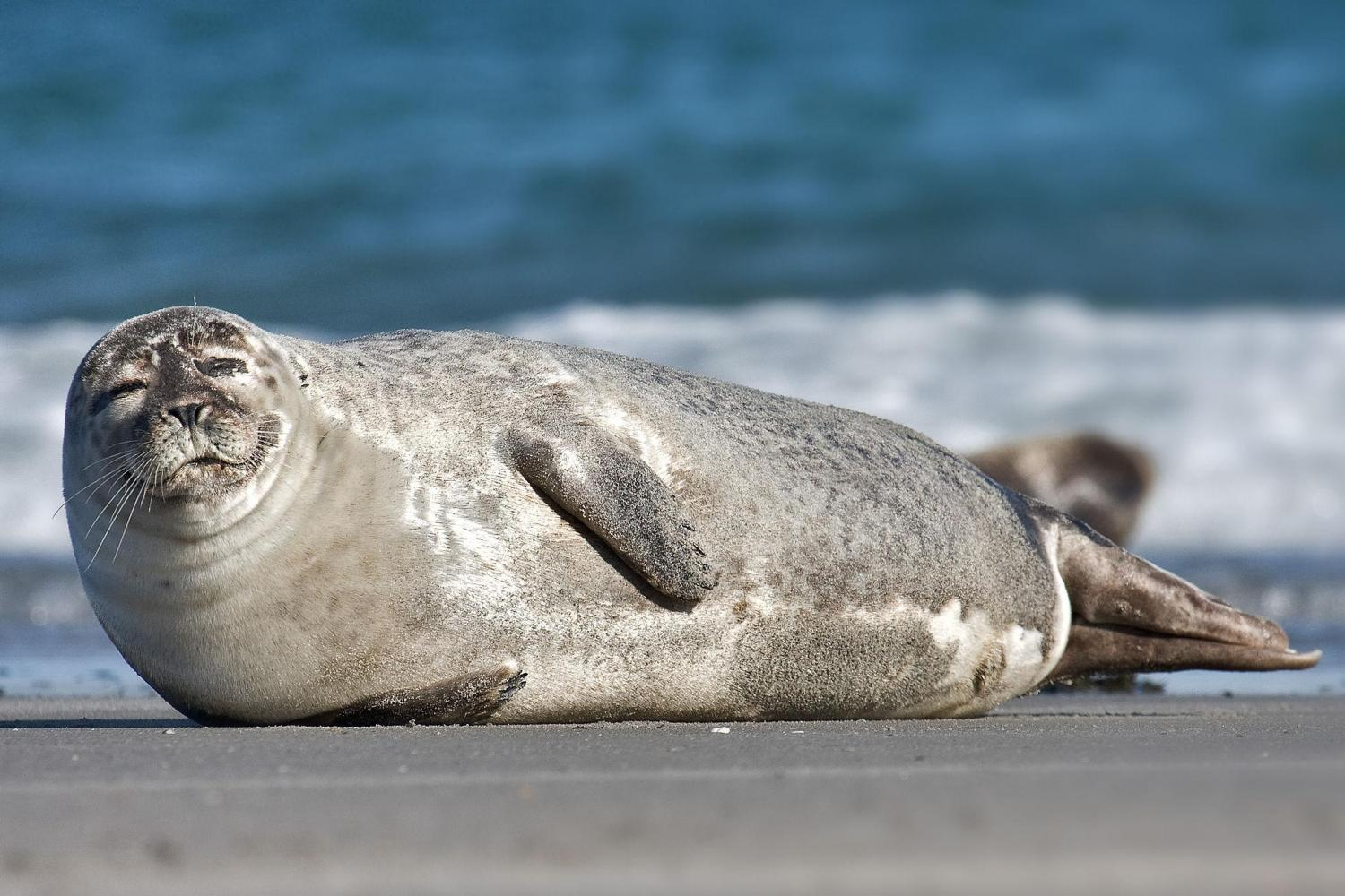 Common Grey Seal. Image by Thomas Tolkien. Licence: CC-by-SA-2.0. www.photo-natur.de